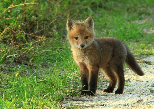 Un bébé renard