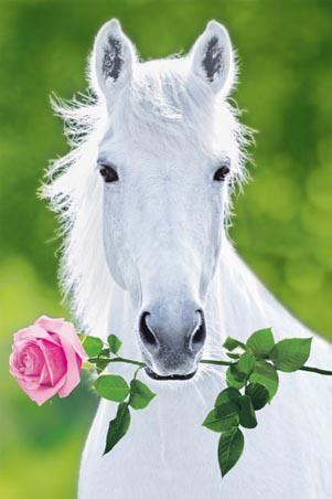 Cheval Blanc avec une Rose