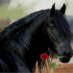 Cheval Noir avec une Rose